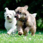 Combien de races de chiens existe-t-il dans le monde?