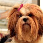 Comment l'alimentation affecte les poils et la peau du chien