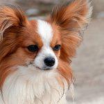 Le chien Papillon - Tempérament, soins et photos