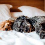 Signification de rêver de chiens Découvrez-le!