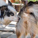 Cycle de chaleur chez les chiennes