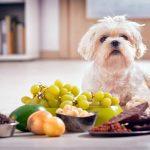 Nourriture interdite pour chiens