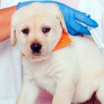 Vaccin polyvalent pour chiens De quoi s'agit-il et quand l'utiliser?