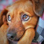 Cancer du sein chez les chiennes