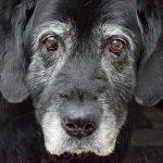 Canine Alzheimer: syndrome de dysfonctionnement cognitif