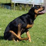 Pourquoi mon chien traîne-t-il son cul? Causes et solutions