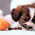 Oeufs dans la nourriture pour chiens - Avantages et quantités