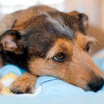 Signes de douleur chez les chiens