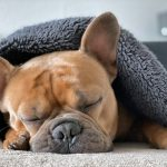 Pneumonie canine - Symptômes, diagnostic et traitement