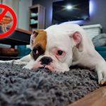 Comment éliminer les puces de la maison avec des remèdes maison