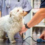 Méningite chez les chiens - symptômes, types, diagnostic et traitement