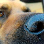 Babésiose canine - Symptômes, contagion et traitement