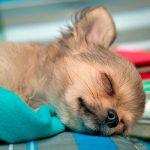 Comment traiter un chien en état d'ébriété