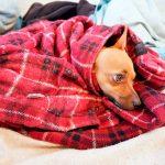 Rhume chez les chiens - symptômes et traitement