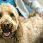 Cardiomyopathie dilatée chez le chien, symptômes et traitement