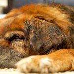 Insuffisance rénale chez les chiens