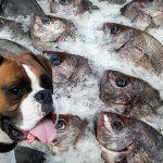Les chiens peuvent-ils manger du poisson?