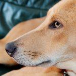 Comment apprendre à un chien à ne pas grimper sur le canapé