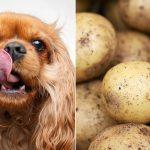 Les chiens peuvent-ils manger des pommes de terre?