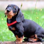 Vinaigre de cidre de pomme chez les chiens: utilisations et avantages