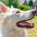 Avantages de la Turquie à Barf pour les chiens souffrant d'allergies alimentaires