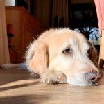 Comment savoir si un chien devient aveugle