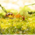 Fourmi folle : habitat, caractéristiques et potentiel invasif