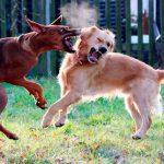 Comment séparer deux chiens de combat