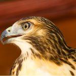 Aigle de Bonelli : habitat et caractéristiques