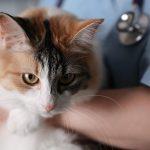 Amylose chez le chat : causes, symptômes et traitement