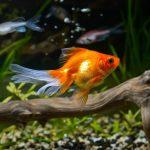 10 curiosités du poisson rouge