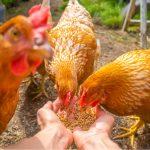 Comportement des poules