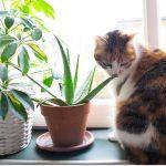 Aloe vera pour chats : utilisations et bienfaits