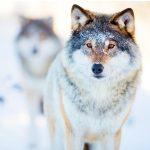Comportement du loup