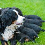 Soins du chien après une césarienne