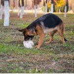 8 raisons pour lesquelles votre chien mange des pierres