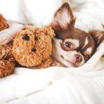 Différence entre pinscher et chihuahua