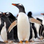 Comportement des pingouins