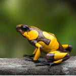 Comment les amphibiens respirent-ils ?