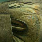 Requin à grande bouche : habitat et caractéristiques