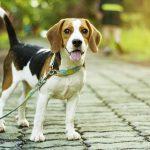 Combien de fois par jour dois-je promener mon chien ?